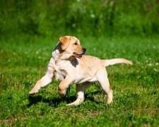 Собаки определяют рак
