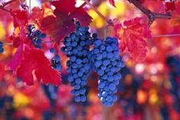 Косточки винограда помогут при химиотерапии